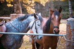 Due cavalli che aspettano per guidare Immagini Stock Libere da Diritti