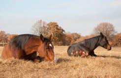 Due cavalli che dormono nell'erba Fotografie Stock Libere da Diritti
