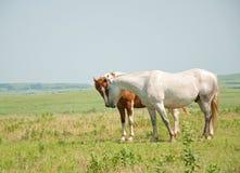Due cavalli che fiutano i radiatori anteriori in un pascolo della prateria Immagine Stock