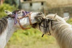 Due cavalli che giocano con le loro briglie fotografia stock
