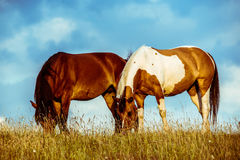Due cavalli che mangiano erba Fotografia Stock Libera da Diritti
