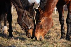 Due cavalli che mangiano erba al pascolo Fotografia Stock