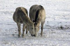 Due cavalli che mangiano insieme nella neve Fotografia Stock