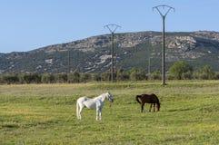 Due cavalli che pascono nel campo Fotografie Stock