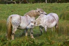 Due cavalli che si accarezzano immagine stock