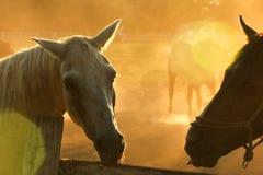 Due cavalli, colpo capo Fotografia Stock Libera da Diritti