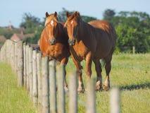 Due cavalli della castagna fotografie stock libere da diritti