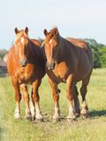 Due cavalli della castagna fotografia stock