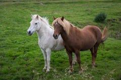 Due cavalli della razza islandese nella piena crescita fotografia stock