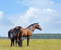 Due cavalli di baia Fotografie Stock