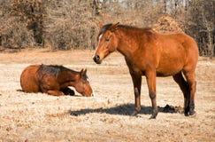 Due cavalli di baia rossa addormentati in pascolo invernale Fotografia Stock