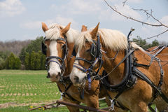 Due cavalli di cambiale immagini stock