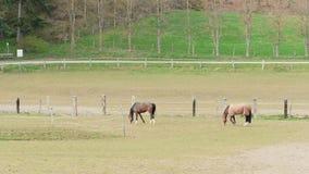 Due cavalli di pascolo marroni sull'azienda agricola del cavallo vicino alla foresta al giorno archivi video
