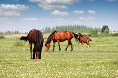 Due cavalli e puledri Fotografie Stock
