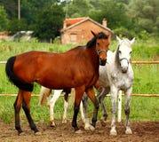 Due cavalli esterni Fotografia Stock Libera da Diritti