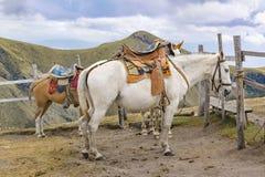 Due cavalli legati alla collina Quito Ecuador di Panecillo Fotografia Stock Libera da Diritti