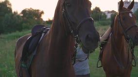 Due cavalli masticano l'erba stock footage