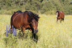 Due cavalli nel prato con il lupino del giardino in priorità alta fotografie stock libere da diritti