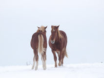 Due cavalli nella neve Fotografie Stock