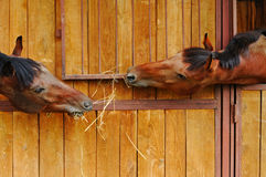 Due cavalli nella scuderia Fotografie Stock