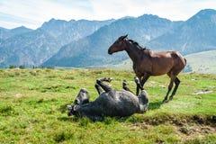Due cavalli nelle alpi Fotografia Stock Libera da Diritti