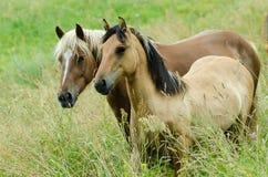 Due cavalli in pascolo Immagini Stock