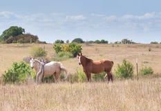 Due cavalli in pascolo immagini stock libere da diritti