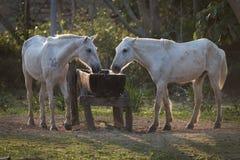 Due cavalli retroilluminati che bevono dalla depressione dell'acqua Fotografia Stock