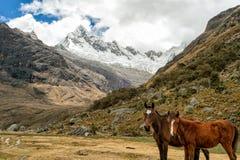 Due cavalli sotto un ghiacciaio Fotografia Stock