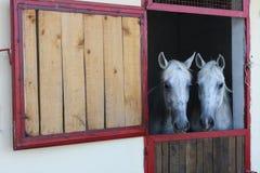 Due cavalli in stalla Immagine Stock