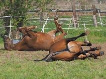 Due cavalli stanno rivoltando fotografia stock libera da diritti