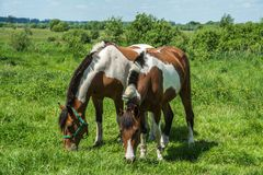 Due cavalli in un prato Fotografia Stock
