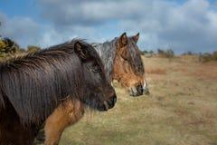 Due cavallini selvaggi di Moorland che vagano liberamente su Bodmin attraccano, Cornovaglia immagine stock libera da diritti