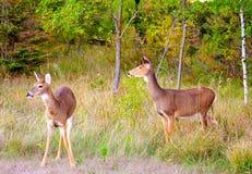 Due cervi che emergono appena dalla foresta Immagini Stock