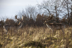 Due cervi in parco Immagini Stock Libere da Diritti