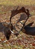 Due cervi maschii che combattono con i loro corni fotografia stock libera da diritti
