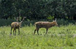 Due cervi nobili Immagini Stock