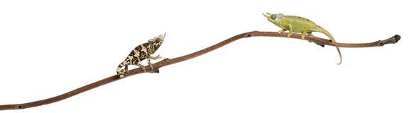 Due Chameleons di Mt. Meru Jackson Fotografie Stock Libere da Diritti