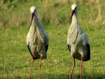 Due cicogne che stanno nel Vondelpark Fotografia Stock