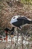 Due cicogne Sella-fatturate Africano in una palude Immagini Stock Libere da Diritti