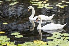 Due cigni bianchi Fotografia Stock Libera da Diritti