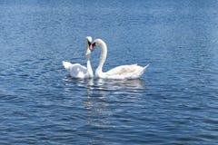 Due cigni bianchi che galleggiano sul lago in Hyde Park, Londra fotografia stock libera da diritti