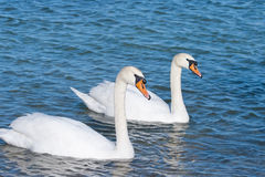 Due cigni bianchi sta galleggiando fotografia stock libera da diritti