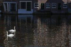 Due cigni bianchi sull'acqua nel giorno soleggiato a Amsterdam vicino alle costruzioni fotografia stock
