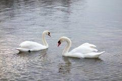 Due cigni che affrontano su un lago brillante Immagine Stock Libera da Diritti