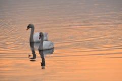 Due cigni che nuotano al tramonto Fotografia Stock Libera da Diritti