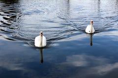 Due cigni che nuotano verso la sponda del fiume Fotografia Stock Libera da Diritti