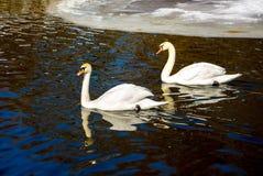 Due cigni galleggiano sull'acqua scura un giorno soleggiato dell'inverno I cigni sono r immagine stock libera da diritti