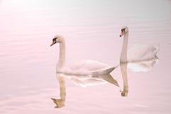 Due cigni hanno riflesso sul lago Fotografia Stock Libera da Diritti