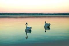 Due cigni neri del atratus del cygnus che galleggiano su un lago immobile al tramonto fotografie stock